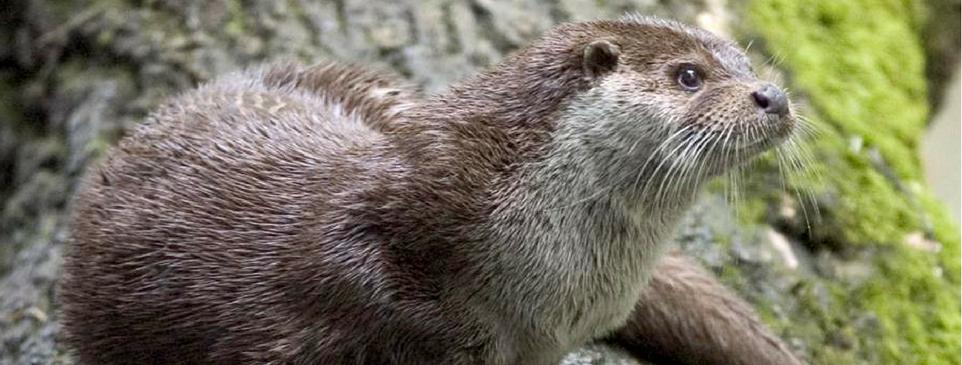 Otter - 962x365