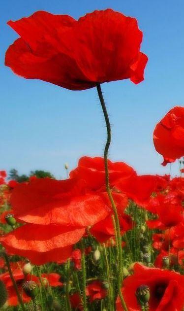 Poppies landscape2
